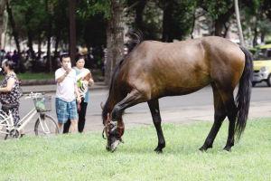 老人饲养的马在草坪上悠闲的吃着草 ■华商晨报 华商响网记者 张贺然 摄