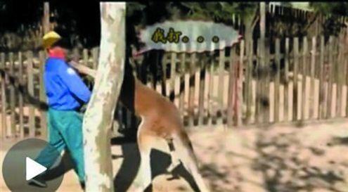 袋鼠正攻击饲养员(视频截图)