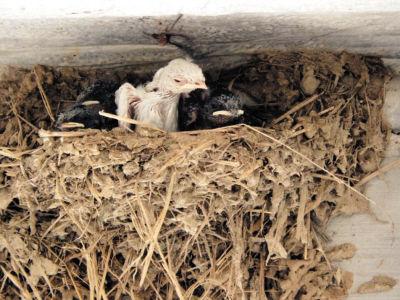 这只白雏燕的羽毛还湿漉漉地贴在身体上。