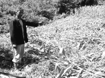 昨日,在辽阳县八会镇一个村子里,村民指着倒下的玉米说,这些都是野猪糟蹋的。