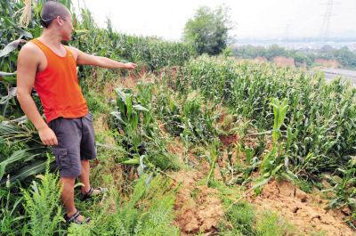 """""""天坑底部""""的玉米大片倒伏,泥土层裂开了大缝。"""