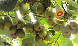 在目前的猕猴桃品种中,以陕西周至的红心猕猴桃食用价值最高。