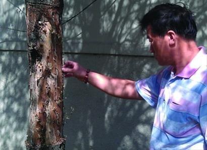 沈阳市和平区重光里小区内有三棵杨树被扒皮,其中一棵已经枯死。北国网、辽沈晚报记者 温雨佳 摄