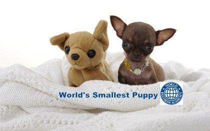 波多黎各的吉娃娃蜜莉获吉尼斯世界纪录认证,成为世界最小狗。美国《赫芬顿邮报》图