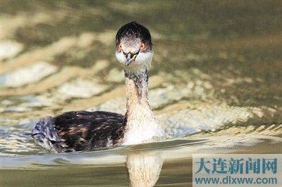 披着冬羽的黑颈鸊鷉头部滚圆,特别惹人喜爱。记者谷国强摄