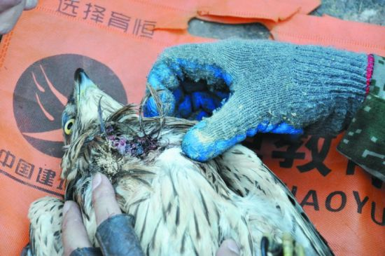 苍鹰被偷猎网猎杀 血肉模糊