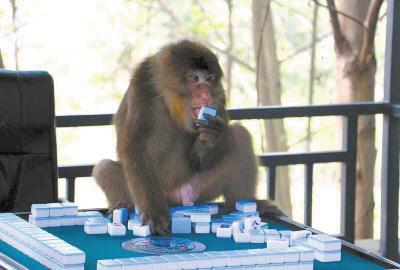 捣乱的猴子。
