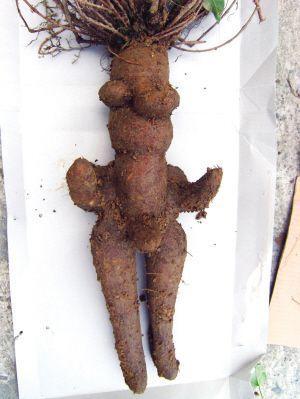 挖出了一株人形何首乌 朱美娜 摄