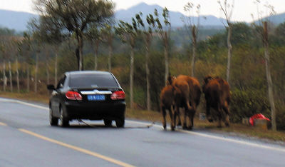 小轿车尾部拴着三头牛