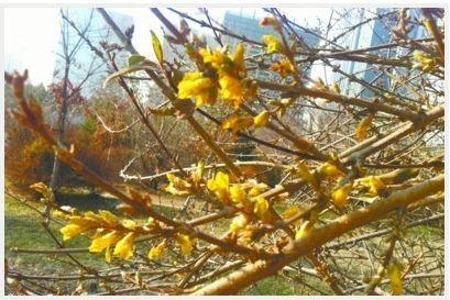 科普公园灌木冬天开花 疑为迎春花