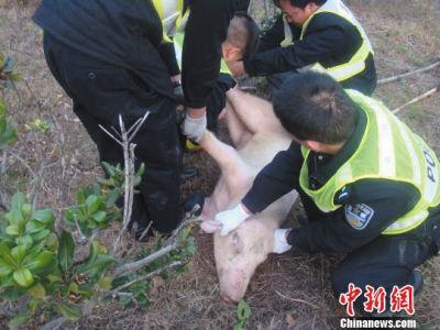 """大闹高速路的母猪被""""俘获""""。中新社发"""