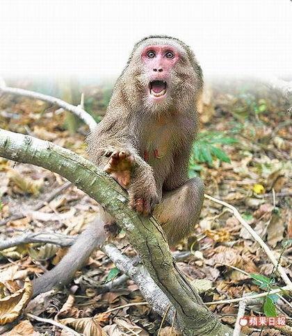 台湾猕猴是群居性动物,常闯入山区农舍吃蔬果。资料照片