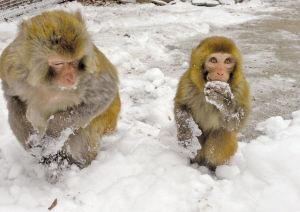 """调皮的小猴趁""""家长""""不注意,偷偷地品尝雪的味道"""