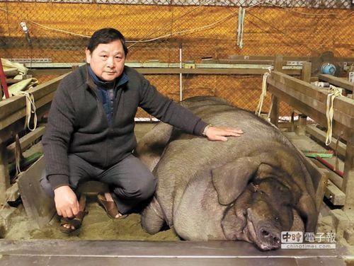 """三峡神猪祭将在大年初六登场,秤重结果21日出炉,由莺歌信徒廖国清饲养的1564台斤""""神猪""""获特等奖。"""
