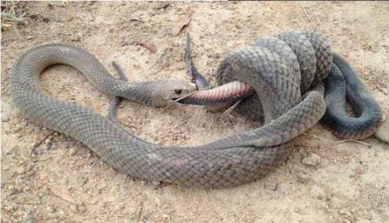 """人行道上演""""蛇吃蛇""""生死对决奇观"""