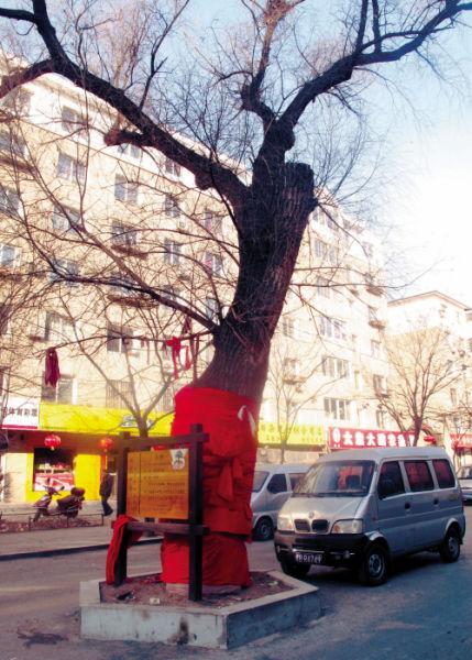 鸭绿江街的这棵旱柳虽然年龄早过百,但只是古树非神树。