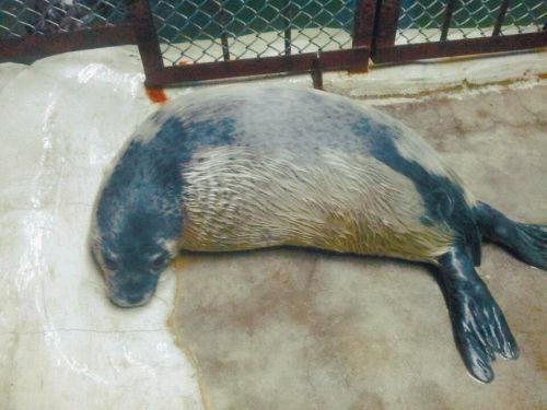 二十几天的小海豹