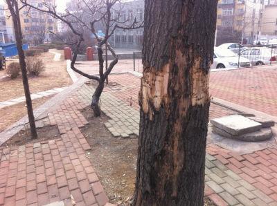 大树被割皮,小树已枯死。