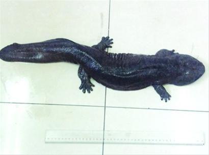 """被抓到的这条""""娃娃鱼""""体长约有70厘米/闵行公安供图"""