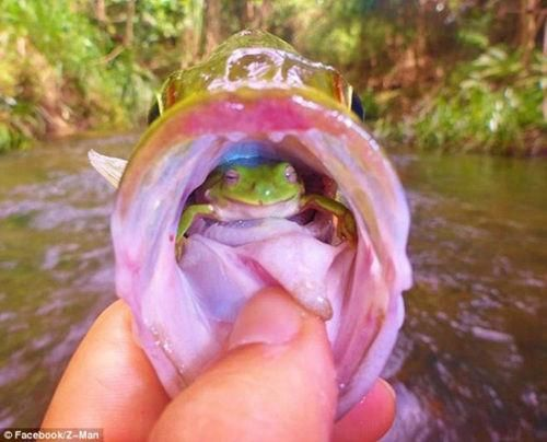 绿色树蛙栖息在大鱼嘴里