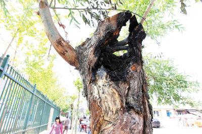 树干顶端突然冒烟自燃。