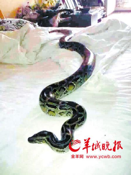 家中床上的被窝里突然出现一条大蟒蛇