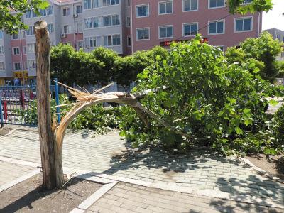 五一路与南沙街交会处,附近居民认为这棵行道树可能是被雷劈倒的。