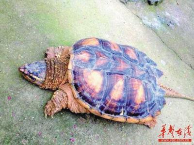 长沙市民发现的大龟
