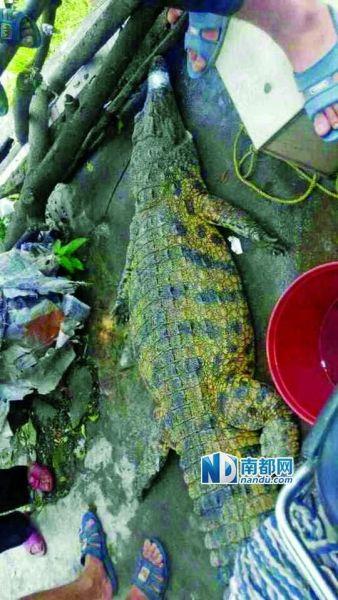 被抓获的鳄鱼。