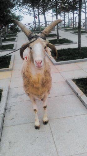 头顶四只犄角,四角羊长相威武。