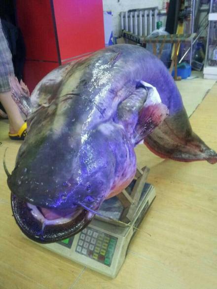 92斤重鲶鱼