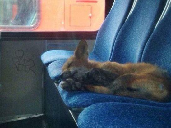 狐狸公交车上公然酣睡照走红网络