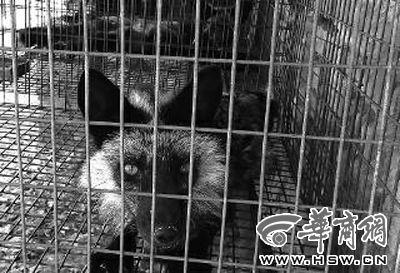 这只饱受惊扰之苦的老狐狸已奄奄一息。