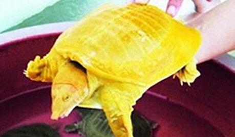 """这只""""黄金甲""""不仅壳是金黄色的,从头到脚,底色基本也是黄色的。"""