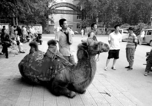 骆驼街边卖艺。