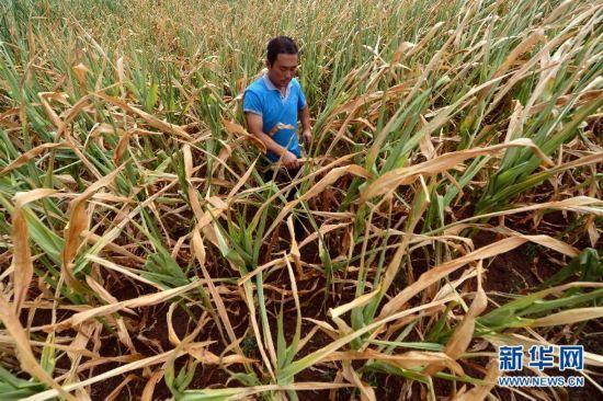 8月10日,朝阳市喀左县白塔子镇白塔子村的农民在绝收的玉米地里。(记者 杨青 摄)