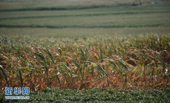 阜蒙县蜘蛛山镇的一处玉米地(8月12日摄)。