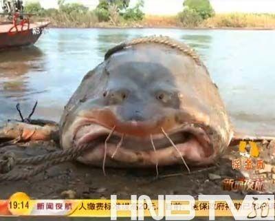 长2.7米重537斤的大鳇鱼。(视频截图)