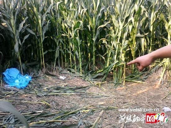 发现小馨遗体的玉米地