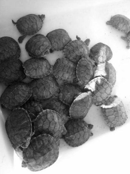 巴西龟在龟市很常见