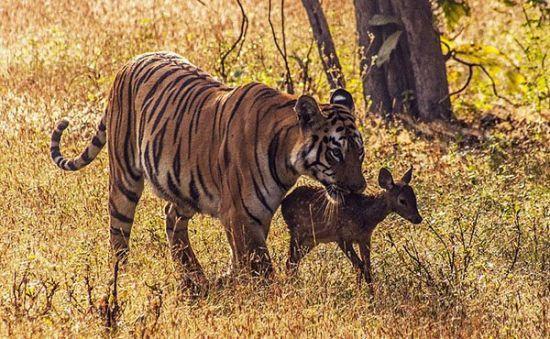 小鹿不断试图逃走,但都被老虎捉住并轻轻叼在嘴里带回来,像叼着小老虎一样。