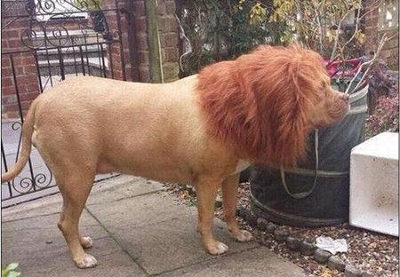 一头体型颇为庞大的动物站立在一户住宅门前,它有着金黄色的毛,而且鬃毛茂盛,酷似一头狮子。