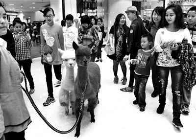 商场里的羊驼。