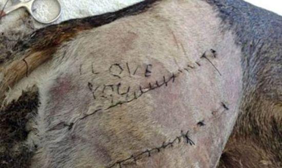 一名兽医系男大生为向女友示爱,竟在狗身上缝上告白字样。