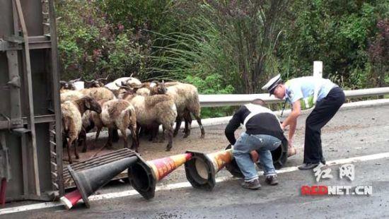 货车侧翻200头羊乱窜