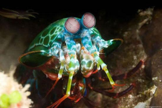 """雀尾螳螂虾被称为海洋中的螳螂,也被称为""""拳击手"""""""
