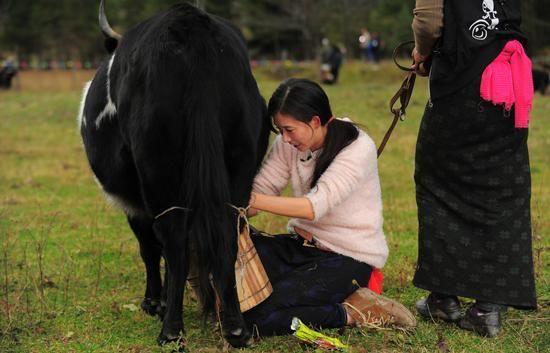 林志玲挤牛奶