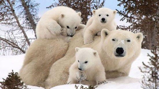 北极熊家庭合影