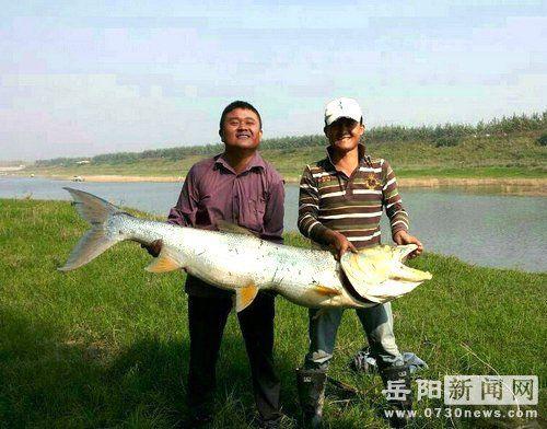 """男子钓起64斤""""巨无霸""""鱼身高过人头"""