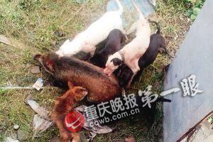 200斤野猪窜进工业园 人猪大战1晚8只猎犬围捕